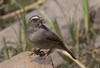 Another endemic that is abundant in Ethiopia is the Brown-rumped Seedeater. (Photo by guide George Armistead)