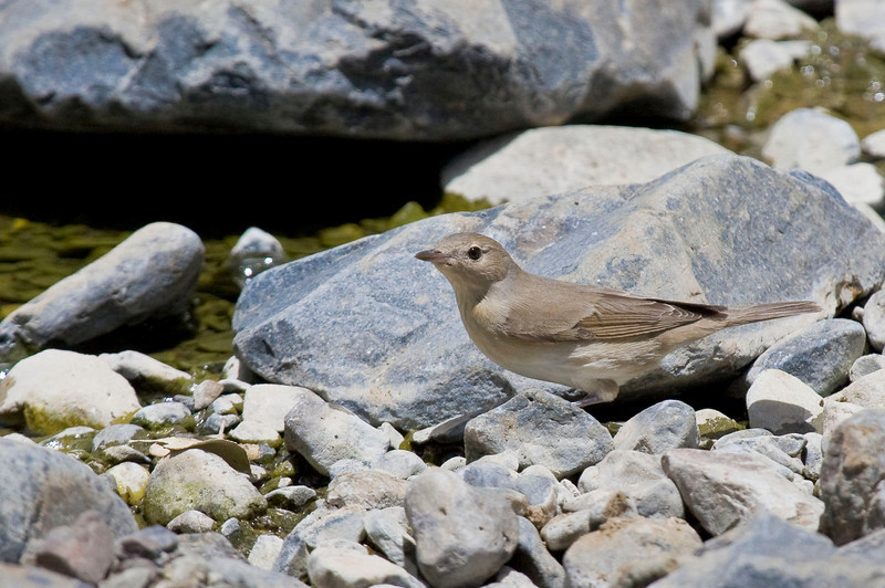 We found many migrants on the trip, such as this Garden Warbler. (Photo by guide George Armistead)
