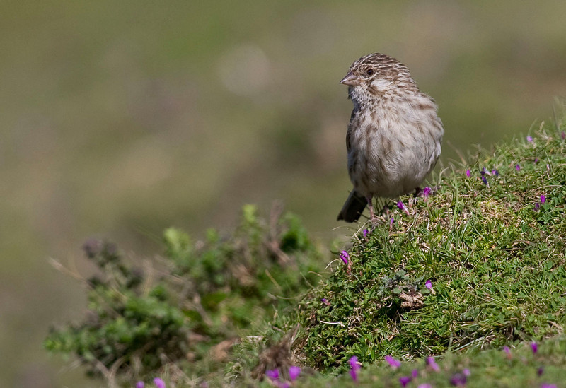 Discovered only in 1976, and not exactly a looker, the Ankober Serin is found along the rocky cliffs of the Ankober Escarpment north of Addis, and it's now known to be yet more widespread. (Photo by guide George Armistead)