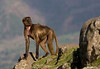 A female Gelada Baboon (Photo by guide George Armistead)