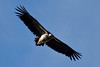 A Lappet-faced Vulture soars in the south. (Photo by guide George Armistead)
