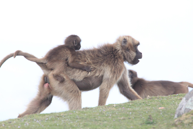 A baby Gelada getting a ride, a tail twist providing some extra security to the tightly clenched fists.  (Photo by guide Richard Webster)