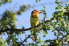 Red-and-yellow Barbets are widespread in East Africa, favoring areas with termitaria, in which they nest. (Photo by guide Richard Webster)