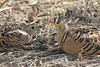 An unexpected bonus in 2012 was this pair of Four-banded Sandgrouse in Awash N.P., known from the area, but seldom seen. (Photo by guide Richard Webster)