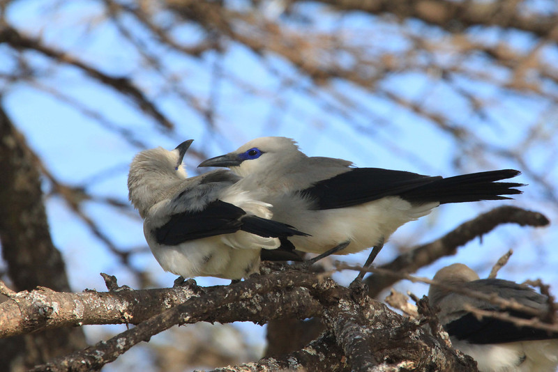 "Stresemann's Bush-Crow is a very social animal, probably cooperative in several efforts, like breeding. Here the bird on the right is allopreening its ""friend,"" which has tilted its head back for another preen. (Photo by guide Richard Webster)"