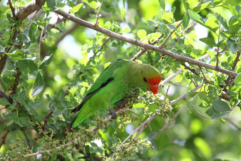 The endemic Black-winged Lovebird is a beautiful variation on the beautiful lovebird theme. (Photo by guide Richard Webster)