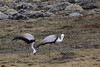 A small, isolated population of Wattled Cranes, a Vulnerable species, lives in Ethiopia; we found this pair along with Ethiopian Wolves (aka Simien Fox) on the Sanetti Plateau of Bale Mountains N.P. (Photo by guide Richard Webster)