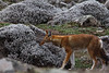 One of several fabulous encounters with Ethiopian Wolf, also known as Simien Wolf or Simien Fox, in Bale Mountains National Park. This  one was out hunting. (Photo by guide Richard Webster)