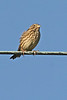"The Corn Bunting is one of the few Eurasian buntings resembling our own North American sparrows, to which they are related. <div id=""caption_tourlink"" align=""right"">[photo © participant Paul Thomas]</div>"