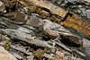 "The Alpine Accentor, here in the Pyrenees, is a high elevation specialist as its name suggests. <div id=""caption_tourlink"" align=""right"">[photo © participants David & Susan Disher]</div>"