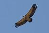 "European Griffon vulture, Gavarnie<div id=""caption_tourlink"" align=""right"">[photo © guide George Armistead]</div>"