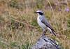 "Northern Wheatear, Gavarnie<div id=""caption_tourlink"" align=""right"">[photo © guide George Armistead]</div>"