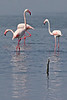 "Greater Flamingos: this distinctive species has now been split from the American Flamingo. <div id=""caption_tourlink"" align=""right"">[photo © participant Paul Thomas]</div>"