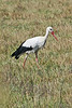 """The White Stork is of course the species to which people attributed the legend of the delivery of babies. <div id=""""caption_tourlink"""" align=""""right"""">[photo © participant Paul Thomas]</div>"""