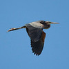 The handsome Purple Heron is one of the species we'll be watching for in both the Sologne and the Brenne. (photo by guide Chris Benesh)