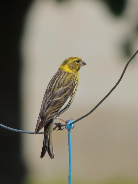 """Among the many species we should see regularly on the tour is the European Serin. Its tinkling, """"broken glass"""" song will likely be a regular part of the tour soundtrack. (Photo by Megan Edwards Crewe)"""