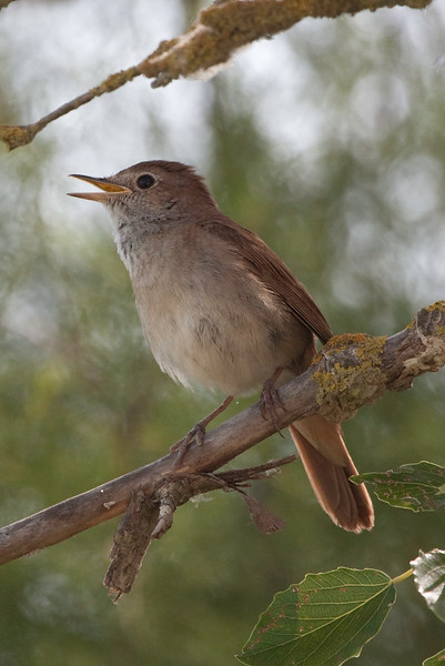 The loud songs of Common Nightingales will echo from the scrubby edges of the Sologne's many lakes. (photo by guide Chris Benesh)