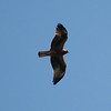 Black Kite is another raptor we'll be keeping an eye out for. (photo by guide Chris Benesh)