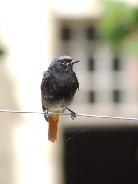 Black Redstart is another common resident in the central Loire Valley. This one was photographed in the courtyard of the gigantic Fontevraud Abbey, which we'll visit one afternoon. Founded in 1101, the order housed here was run by women and soon took on an aristocratic character. The former abbey is now home to a small colony of Rock Petronia, which we'll hope to encounter during our visit. (photo by Megan Edwards Crewe)