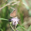 The Loire Valley is home to dozens of butterfly species, including this Sooty Copper. (photo by Megan Edwards Crewe)