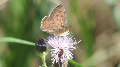 The Loire Valley is home to many butterflies, including this Sooty Copper. Photo by Megan Edwards Crewe.
