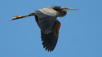 Purple Heron is one of the birds we'll watch for in the Sologne and the Brenne. Photo by guide Chris Benesh.