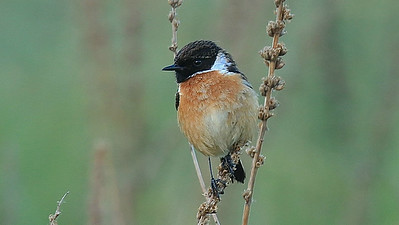 Grasslands are home to European Stonechats.Photo by participant George Nixon.