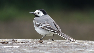 White Wagtail is a regular sight. Photo by Megan Edwards Crewe.