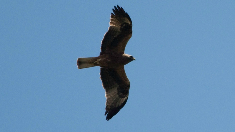 Black Kite is another raptor we'll be keeping an eye out for. Photo by guide Chris Benesh.