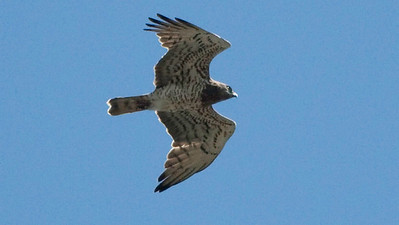 A mighty Short-toed Snake-Eagle. Photo by Chris Benesh.