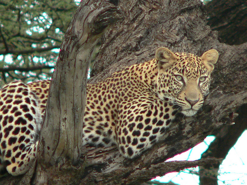 "Leopard <div id=""caption_tourlink"" align=""right"">[photo © participant Harold Bond] </div>"