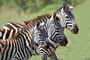 "Common Zebras <div id=""caption_tourlink"" align=""right"">[photo © participant Paul Thomas] </div>"