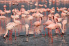 "Lesser Flamingos <div id=""caption_tourlink"" align=""right"">[photo © participant Paul Thomas] </div>"