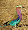 "Lilac-breasted Roller <div id=""caption_tourlink"" align=""right"">[photo © guide Dave Stejskal] </div>"
