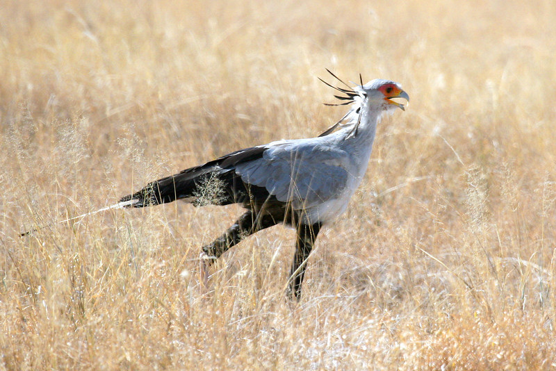 "Secretary-bird <div id=""caption_tourlink"" align=""right"">[photo © participant Paul Thomas] </div>"