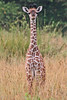 "Common Giraffe <div id=""caption_tourlink"" align=""right"">[photo © participant Paul Thomas] </div>"
