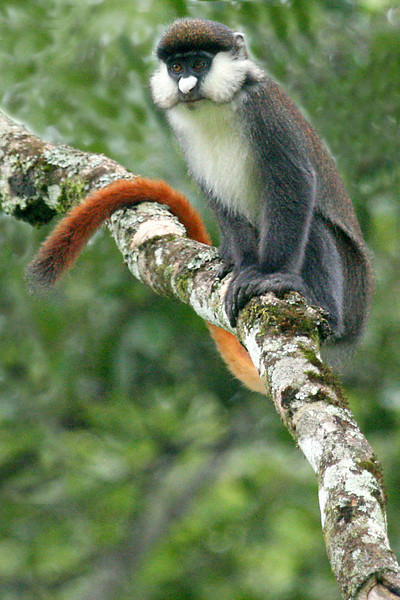 "Red-tailed Monkey <div id=""caption_tourlink"" align=""right"">[photo © participant Paul Thomas] </div>"