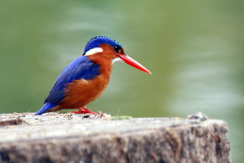 "Malachite Kingfisher <div id=""caption_tourlink"" align=""right"">[photo © participant Paul Thomas] </div>"