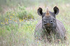 "Black Rhinoceros <div id=""caption_tourlink"" align=""right"">[photo © participant Paul Thomas] </div>"