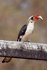 "Von der Decken's Hornbill <div id=""caption_tourlink"" align=""right"">[photo © participant Paul Thomas] </div>"
