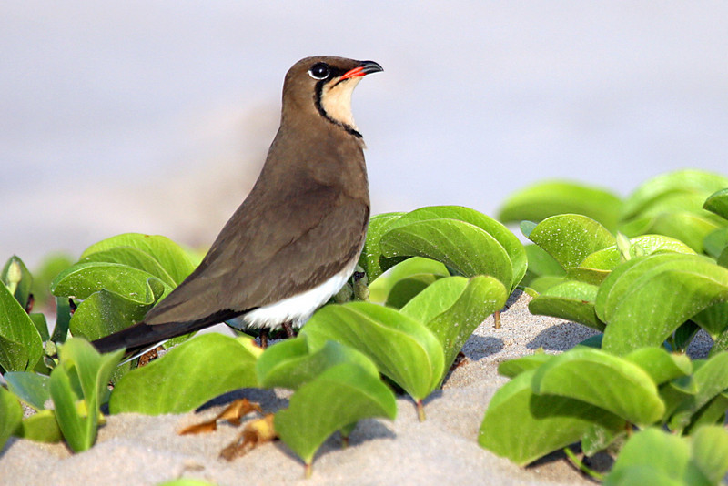"Collared Pratincole <div id=""caption_tourlink"" align=""right"">[photo © participant Paul Thomas] </div>"