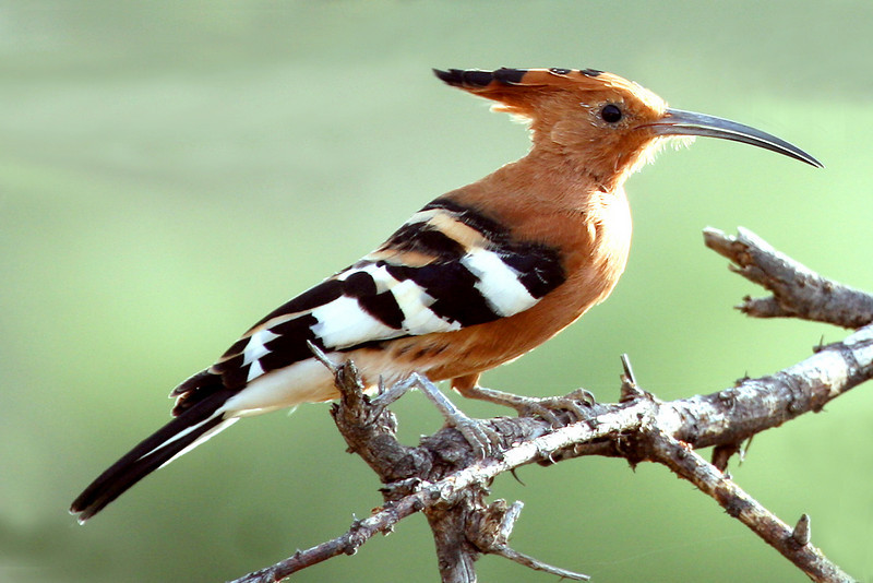 "African Hoopoe <div id=""caption_tourlink"" align=""right"">[photo © participant Paul Thomas] </div>"