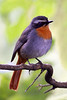 "Cape Robin-Chat <div id=""caption_tourlink"" align=""right"">[photo © participant Paul Thomas] </div>"