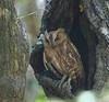 "Torotoroka Scops-Owl <div id=""caption_tourlink"" align=""right"">[photo © guide Dave Stejskal]"