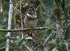 "Short-legged Ground-Roller in Madagascar <div id=""caption_tourlink"" align=""right"">[photo © guide Dave Stejskal]"