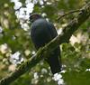 "Madagascar Blue Pigeon <div id=""caption_tourlink"" align=""right"">[photo © guide Dave Stejskal]"