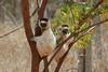 "Verreaux's Sifakas in Madagascar <div id=""caption_tourlink"" align=""right""> [photo © participant Cecilia Verkley]</div>"
