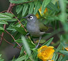 "Reunion Olive White-eye <div id=""caption_tourlink"" align=""right"">[photo © guide Dave Stejskal]"