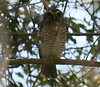"White-browed Owl in Madagascar <div id=""caption_tourlink"" align=""right"">[photo © guide Dave Stejskal]"