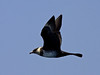 """On our pelagic we found Pomarine Jaegers to be fairly common. They were making hay of all the Yellow-legged, Lesser Black-backed, and Audouin's gulls about. <div id=""""caption_tourlink"""" align=""""right""""> [Photo © George Armistead]</div>"""